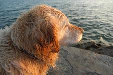 A labrador watches the sunset at Salthill, Sunday 6 April 2003. Photo: Joe Desbonnet
